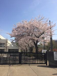 七国山小学校 桜